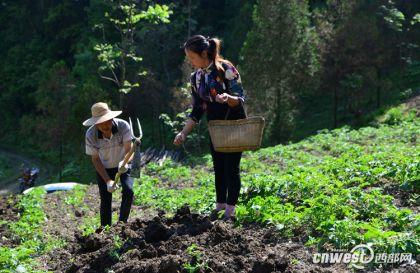 石泉熨斗沙湾村高山魔芋种植促增收